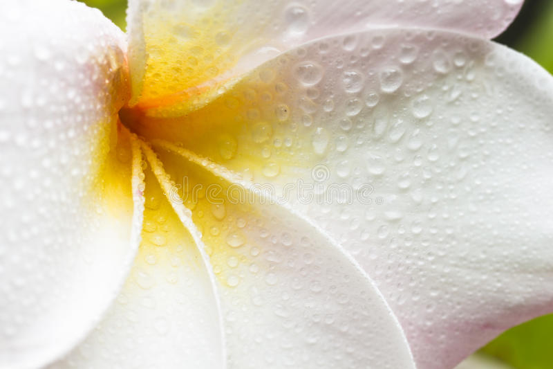 Plumeria. Closeup of a white, yellow and pink plumeria bloom with dew drops royalty free stock photos