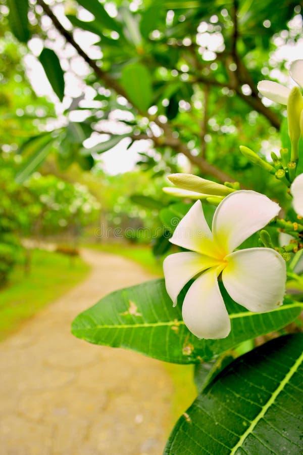 Plumeria dans le jardin images stock