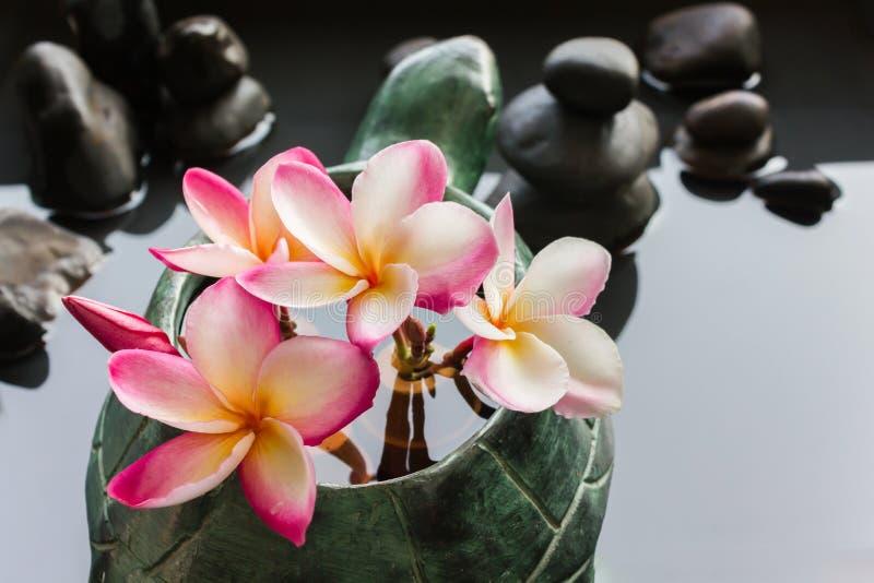 Plumeria de fleur ou groupe rose doux de frangipani dans la forme v de tortue photographie stock