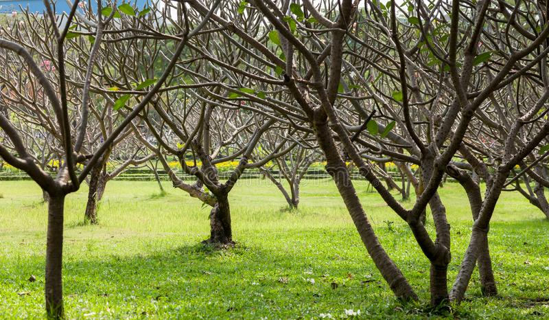 Plumeria drzewo fotografia stock