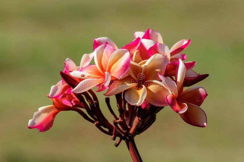 Plumeria is een mooi rood bloeiend boeket stock foto's