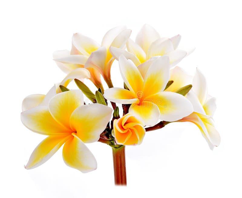 Plumeria en frangipanibloemen isoleerden witte achtergrond stock afbeelding