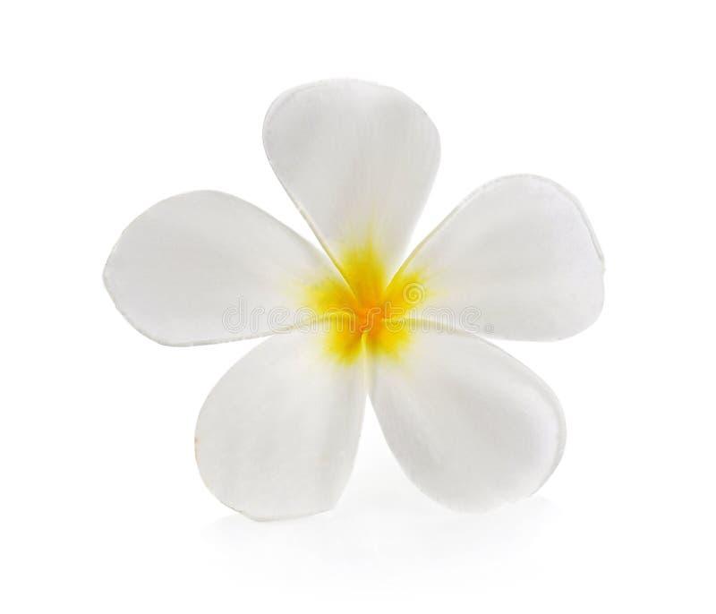 Plumeria en frangipanibloemen isoleerden witte achtergrond royalty-vrije stock afbeelding