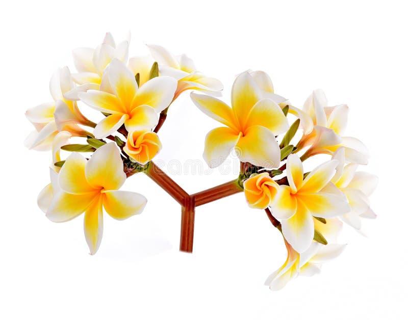 Plumeria en frangipanibloemen isoleerden witte achtergrond royalty-vrije stock foto