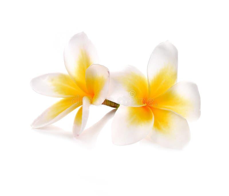 Plumeria en frangipanibloemen isoleerden witte achtergrond royalty-vrije stock afbeeldingen