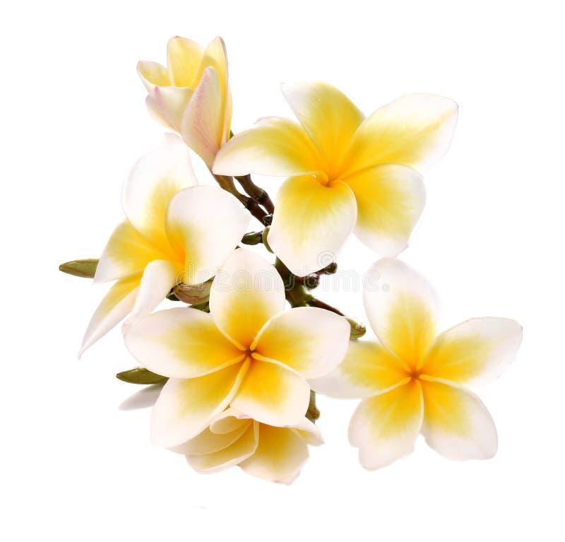 Plumeria en frangipanibloemen isoleerden witte achtergrond royalty-vrije stock fotografie