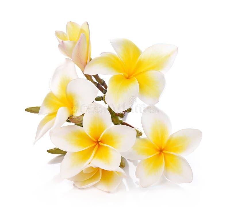 Plumeria en frangipanibloemen isoleerden witte achtergrond en stock afbeelding
