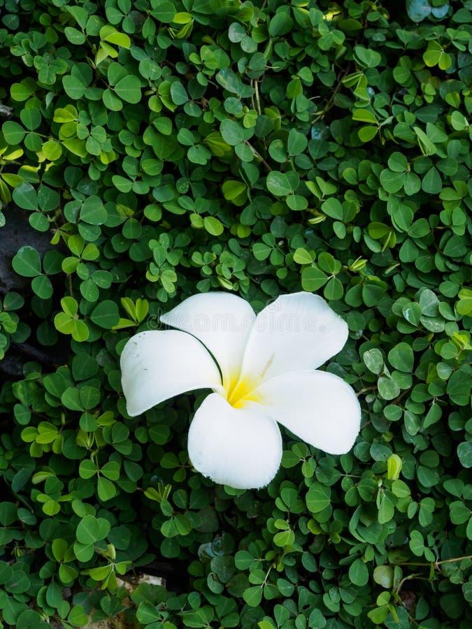 Plumeria en la planta verde imágenes de archivo libres de regalías