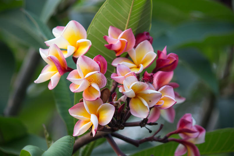 Plumeria filial av den tropiska blommafrangipanien royaltyfri foto
