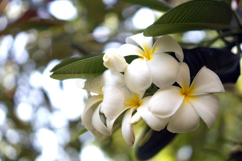 Plumeria, flor da ameixa, floral branco fotos de stock