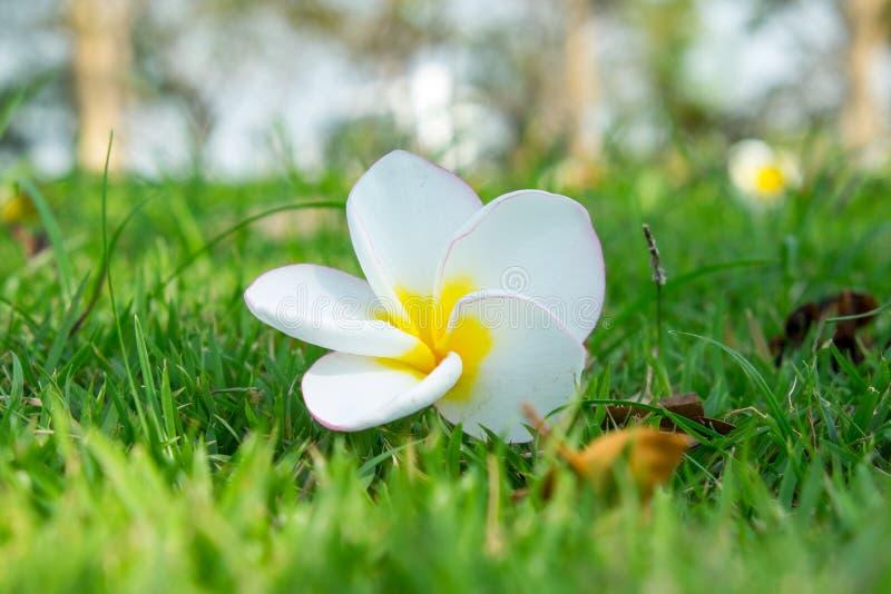 Plumeria, flor tropical en campo de hierba fotos de archivo