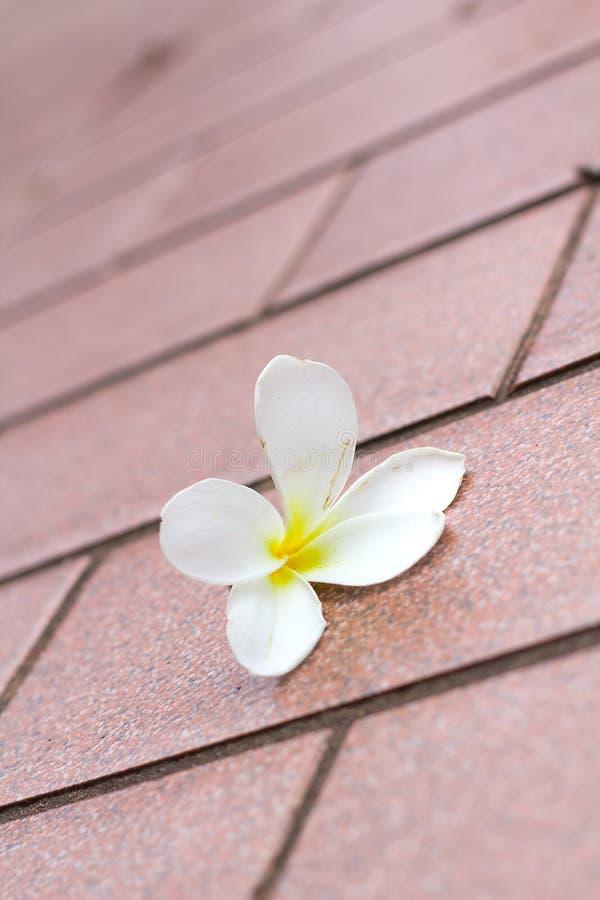 Plumeria flower. On the tiles floors stock images