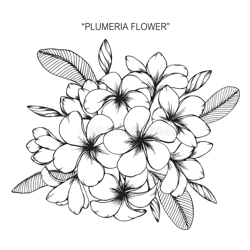 Plumeria flower drawing and sketch. stock illustration