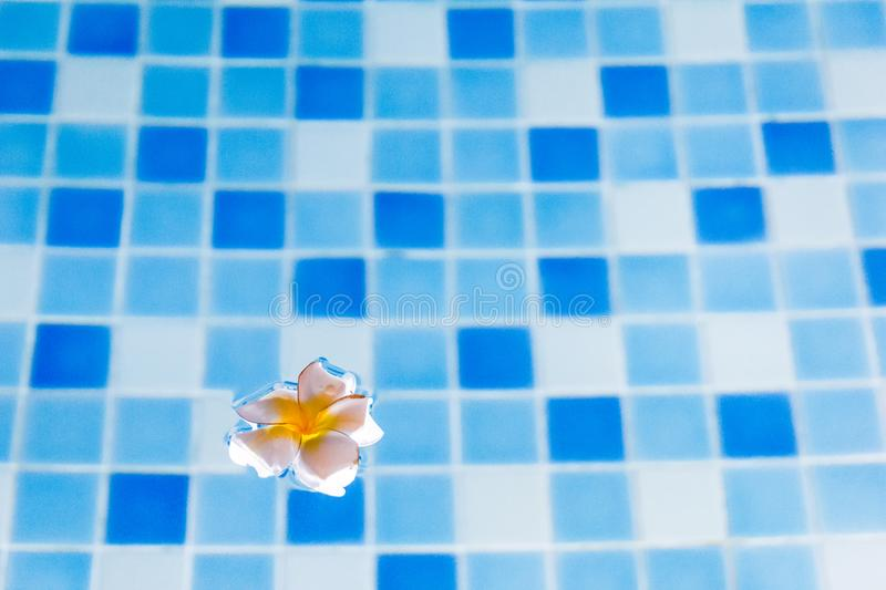 Plumeria flower floating on waterl royalty free stock image