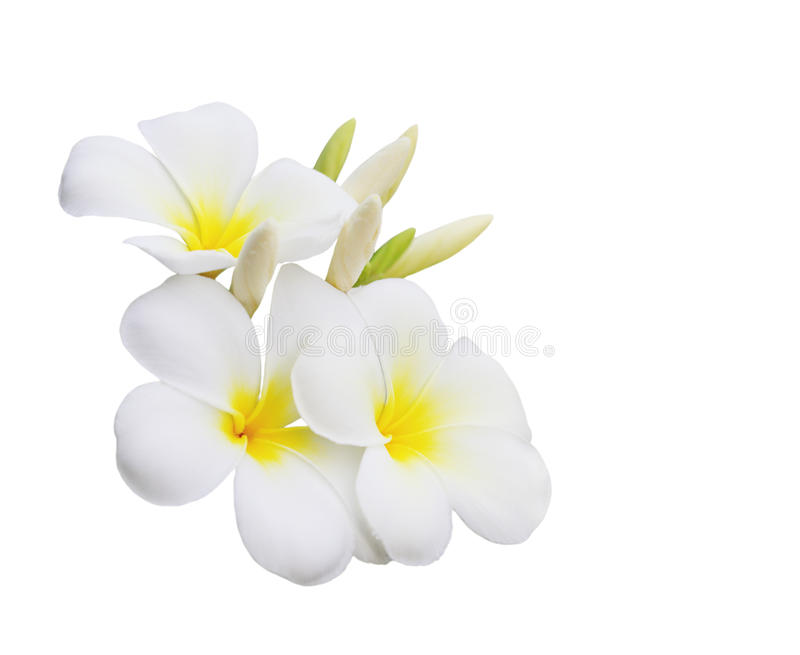Plumeria Flower. Plumeria (Frangipani) flower isolated on white background stock image