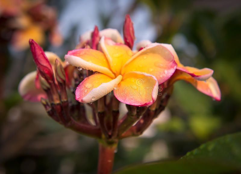 Plumeria flower in the garden royalty free stock photo