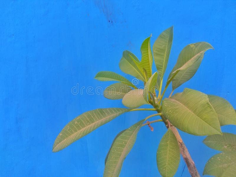 Plumeria flower green leaves againts blue background royalty free stock photo
