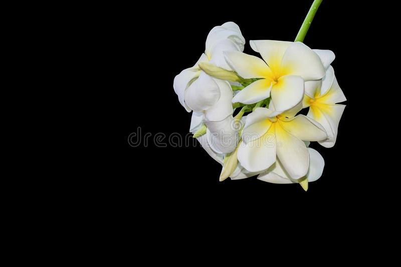 Plumeria flower isolated on black background, Clipping path royalty free stock images