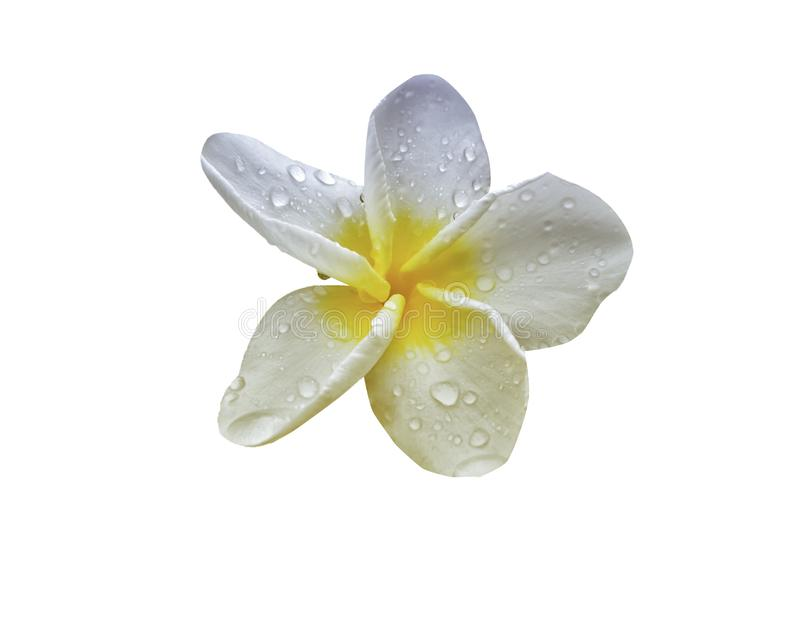 Plumeria flower  with rain drop  isolate on white background with clipping path royalty free stock image