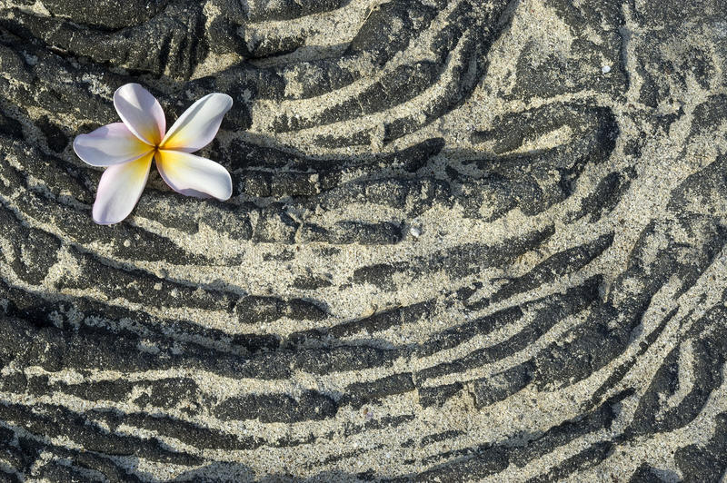 Plumeria flower on sandy lava rock