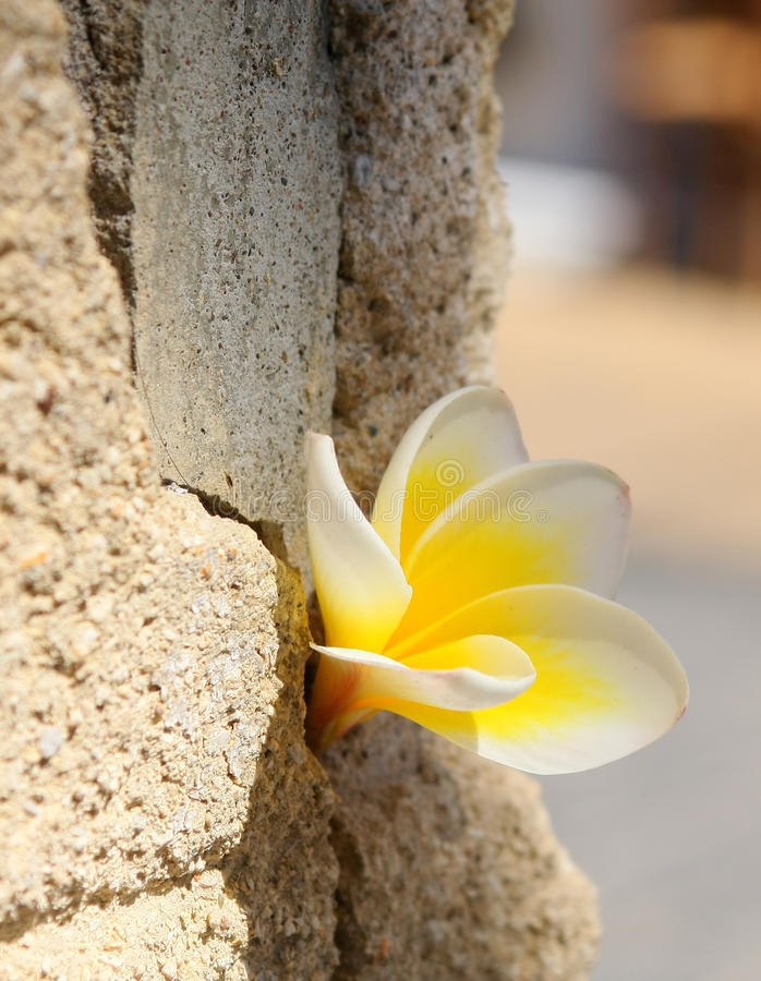 Download Plumeria Flower In The Stone Wall Royalty Free Stock Image - Image: 13113346