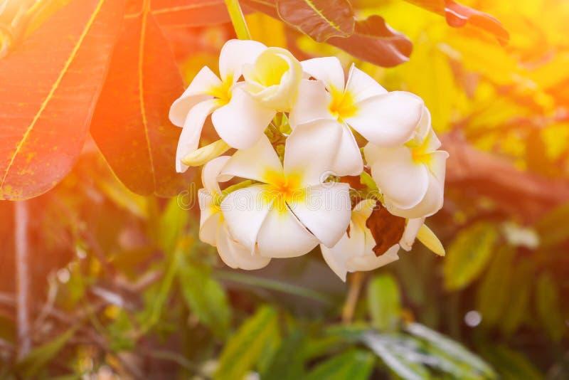 Plumeria flower white beautiful on tree Common name pocynaceae, Frangipani , Pagoda tree, Temple tree. Plumeria flower white beautiful on tree. Common name stock image