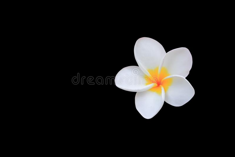 Plumeria flower white isolated on black background and clipping path Common name pocynaceae, Frangipani , Pagoda tree, Temple tr. Plumeria flower white isolated stock image