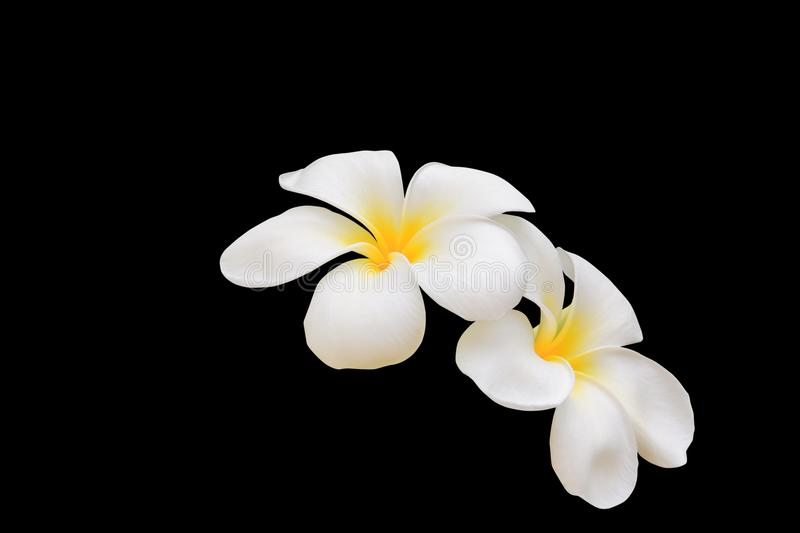 Plumeria flower white - yellow beautiful isolated on black background and clipping path Common name pocynaceae, Frangipani , Pago. Plumeria flower white - yellow stock images