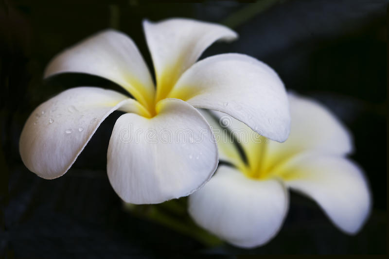 Plumeria flowers. Closeup of blooming white Plumeria flowers with black background royalty free stock photo