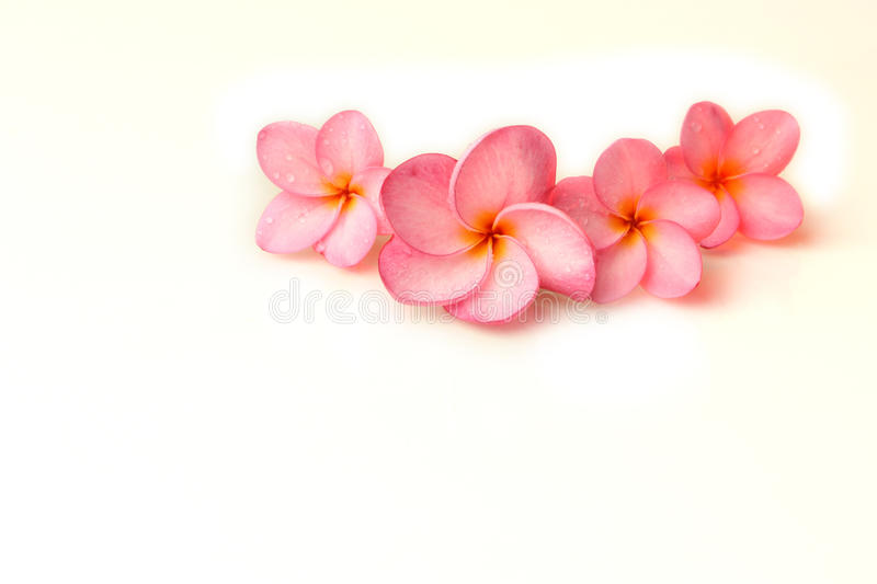 Plumeria flowers. Plumeria on a white background stock photo