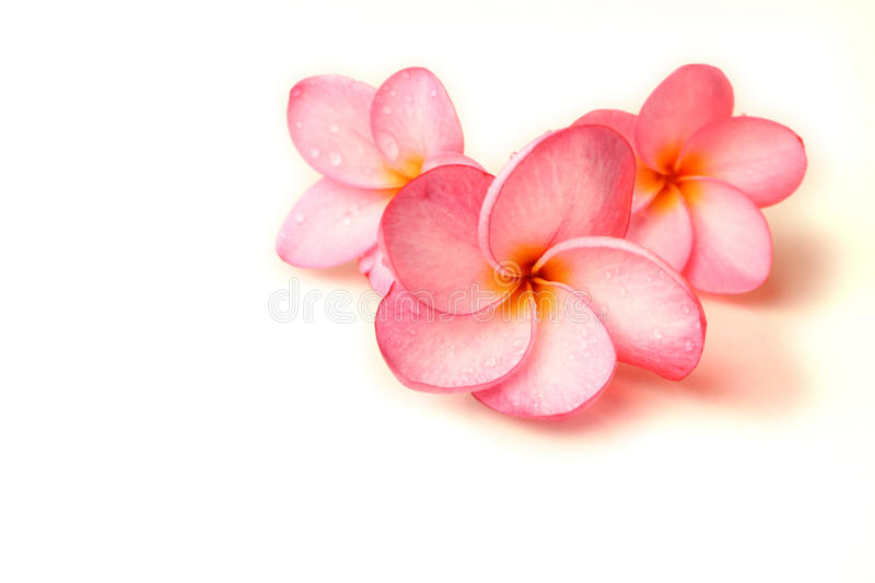 Plumeria flowers. Three Plumeria flowers on a white background stock photos