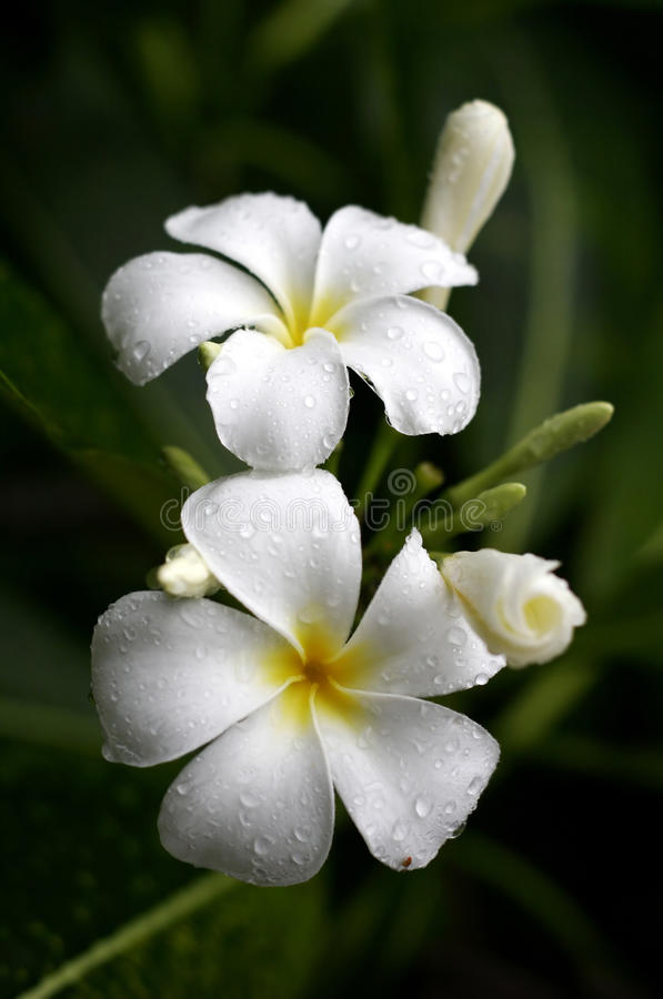 Plumeria flowers. White and yellow plumeria flowers after the rain. Taken in Thailand stock photo