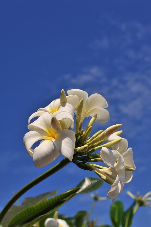 Download Plumeria Flowers stock image. Image of ocean, flowers - 18034717