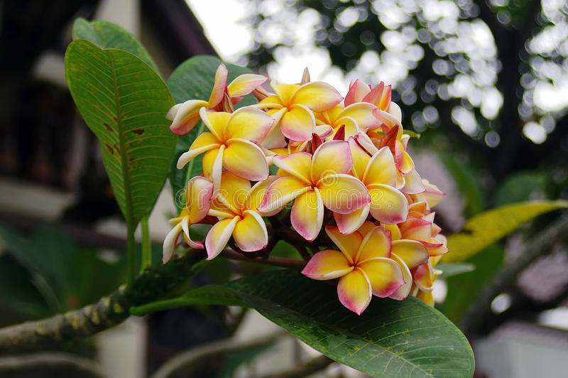 Download Plumeria Flowers stock image. Image of nature, frangipani - 21314307