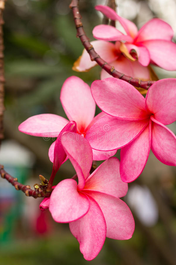 Plumeria. Flowers beautiful green pink nature stock images