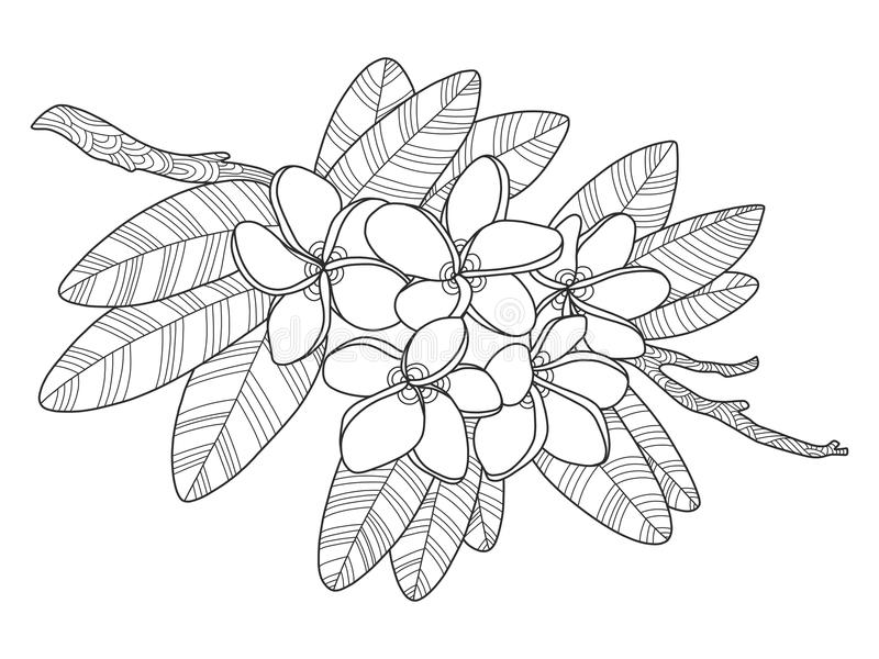 Download Plumeria Flowers Coloring Book Vector Illustration Stock