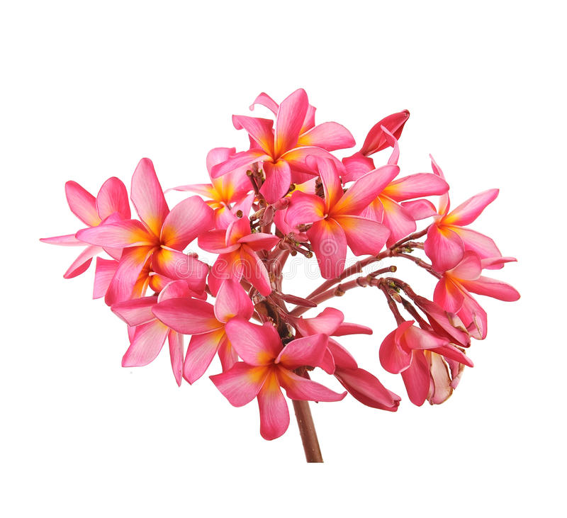 Download Plumeria flowers stock photo. Image of natural, exotic - 34819506