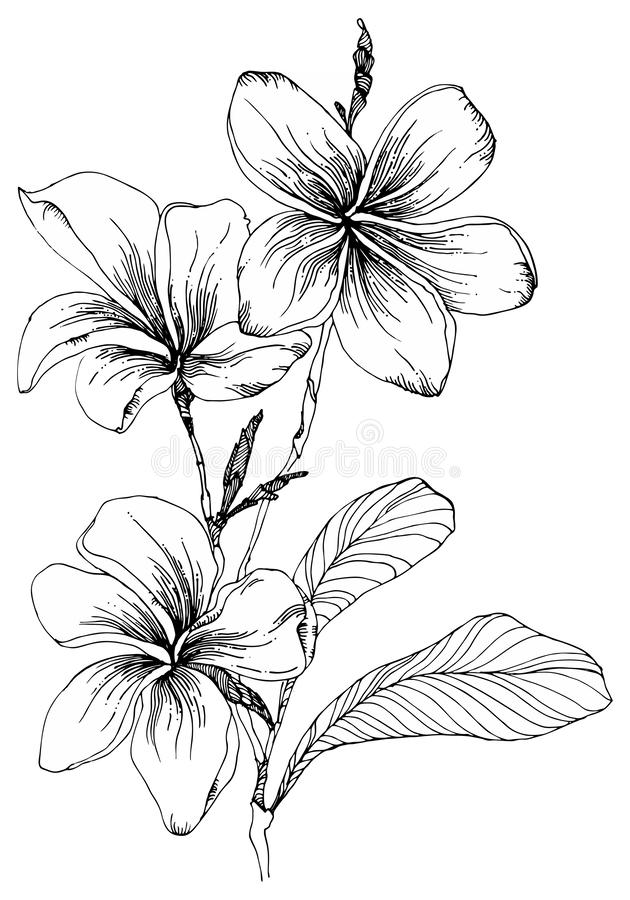 Plumeria flowers with leaves and closed buds on a twig. Black and white vector illustration stock illustration