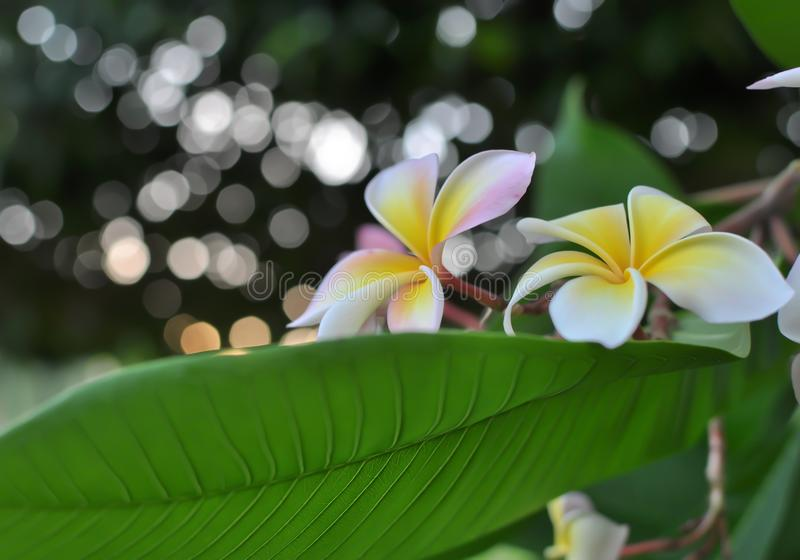 Plumeria flowers and lovely bokeh. Plumeria flowers with white bokeh royalty free stock photo