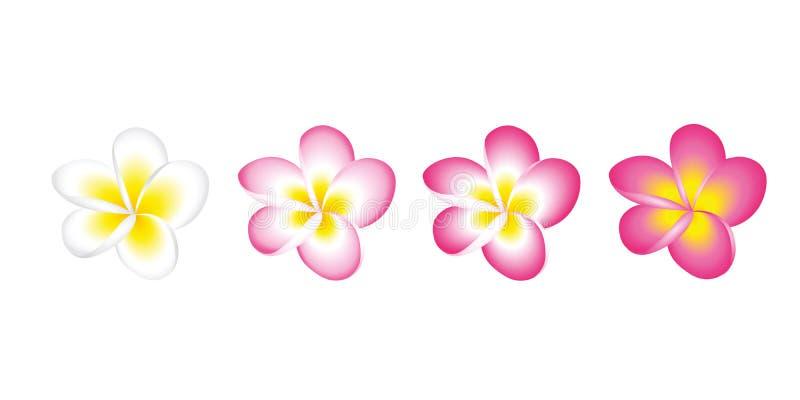 Plumeria Frangipani-Blumenblüte weiß und rosa Satz lokalisiert auf weißem Hintergrund stock abbildung