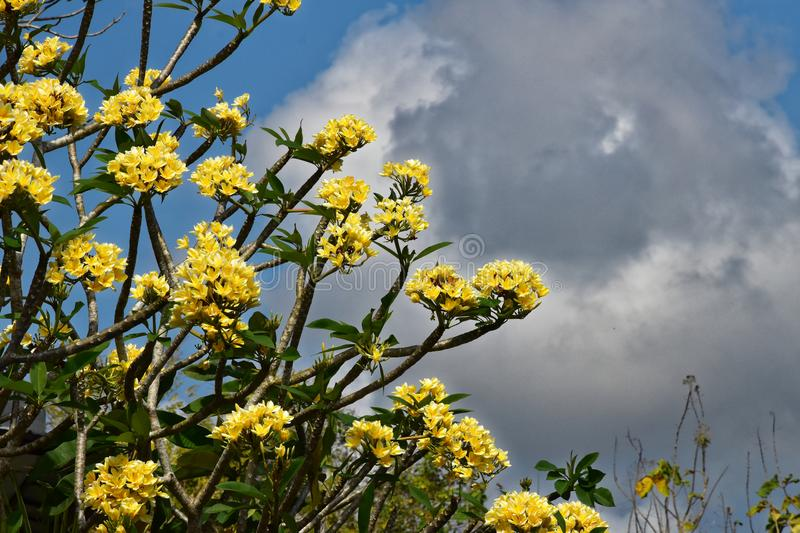 Plumeria frangipani with bright yellow blossoms on a sunny day with clouds in background stock image