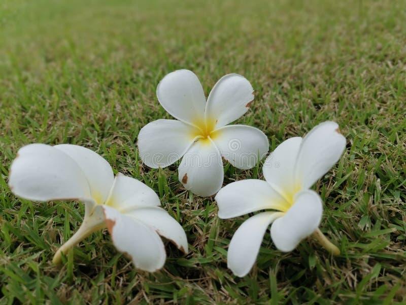Plumeria, Frangipani, flor tailandesa, jardín, cultivando un huerto fotografía de archivo libre de regalías