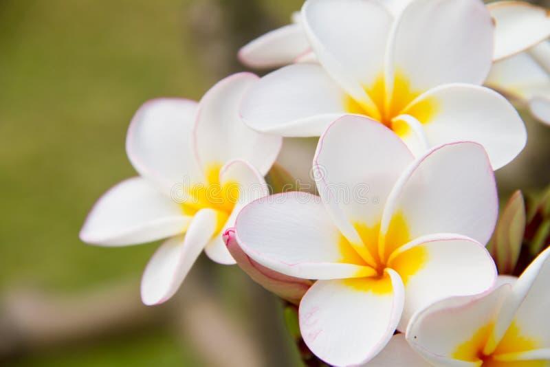 Plumeria or Frangipani flowers stock image