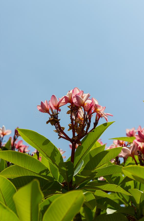 Plumeria Frangipani pink flower blooming beautifully on the tr royalty free stock photos