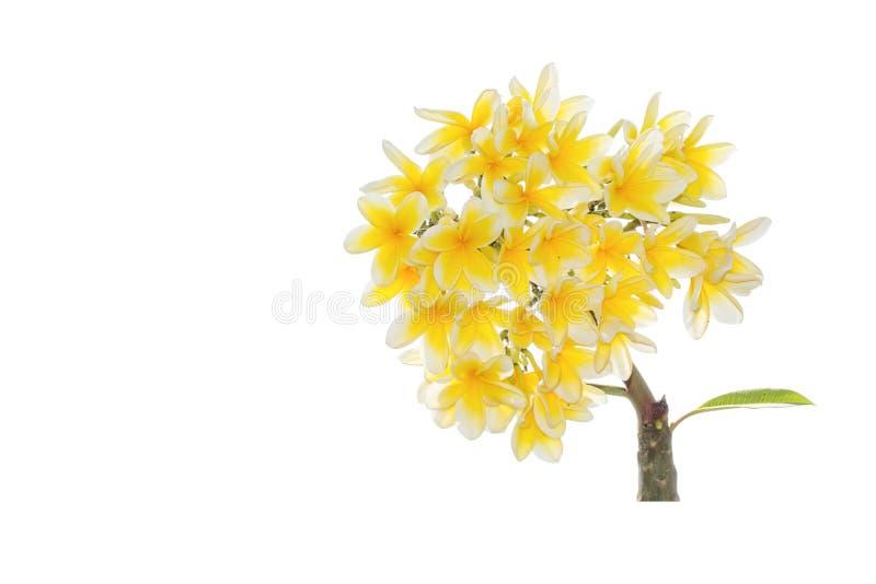 Plumeria frangipani silk flowers stock images