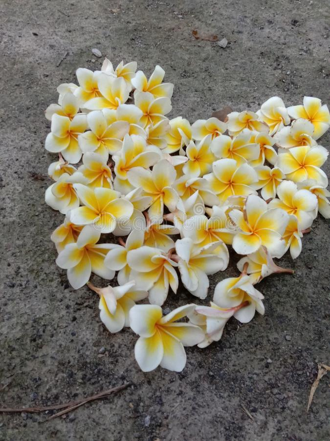 A Frangipani flower heart filled near plumeria tree with too many flowers and some buds royalty free stock photo