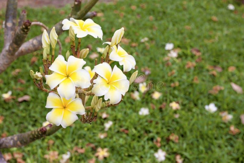 Plumeria jaune et blanc de plan rapproché dans le jardin image libre de droits
