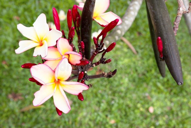 Plumeria jaune et blanc de plan rapproché dans le jardin photographie stock