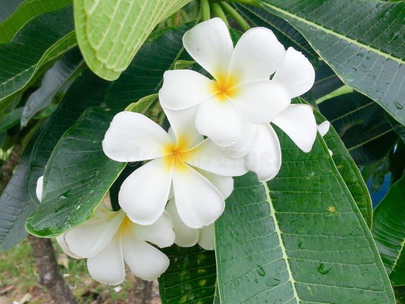 Plumeria jaune, fleurs de Leelawadee image libre de droits