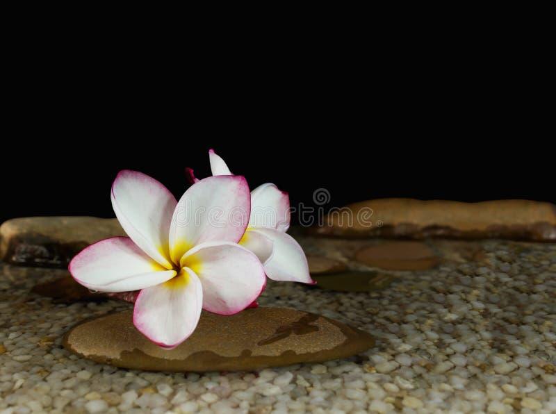 Plumeria jaune rose doux ou frangipani de fleur sur l'eau et le peb photographie stock